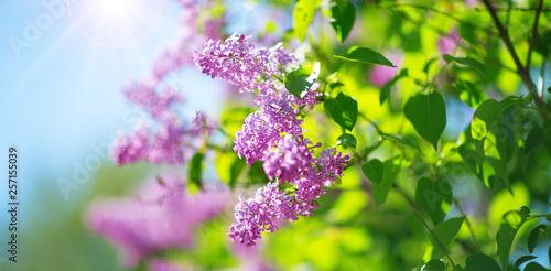 Obraz na plátně Lilac flowers blooming outdoors