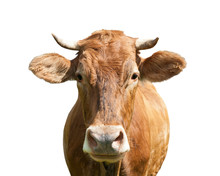 Brown Cow, Isolated On White B...