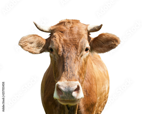 Canvas Prints Cow brown cow, isolated on white background