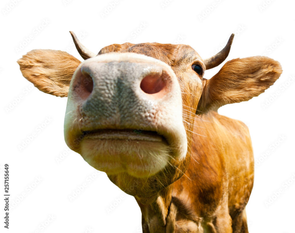 Fototapety, obrazy: Brown cow, isolated on white background