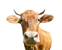 Curious Brown Cow (close-up), ...