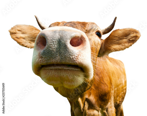 Staande foto Koe Brown cow, isolated on white background