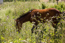Brown Horse Is   Walking And E...