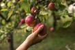 Dziewczyna zrywa jabłka z drzewa.