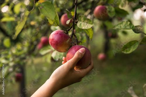 Obraz Dziewczyna zrywa jabłka z drzewa. - fototapety do salonu