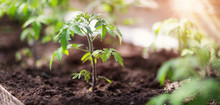 Tomato Seedling In Greenhouse