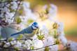 canvas print picture - kleine Blaumeise in einem blühenden Baum
