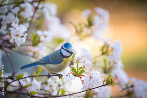 Cuadros en Lienzo kleine Blaumeise in einem blühenden Baum