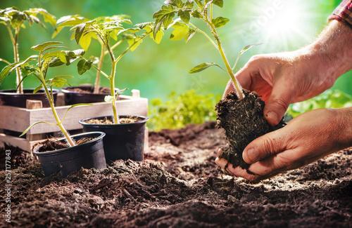 Fototapeta Farmer planting tomatoes seedling in organic garden obraz