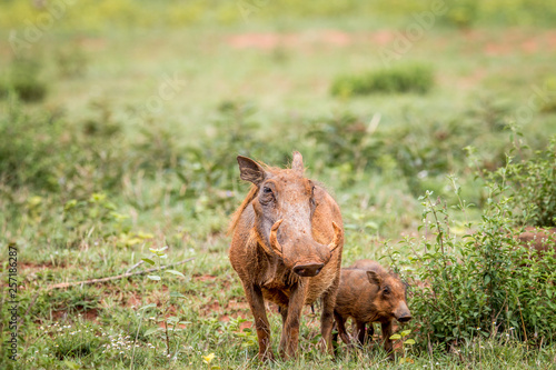Photo  Family of Warthogs with baby piglets in the grass.