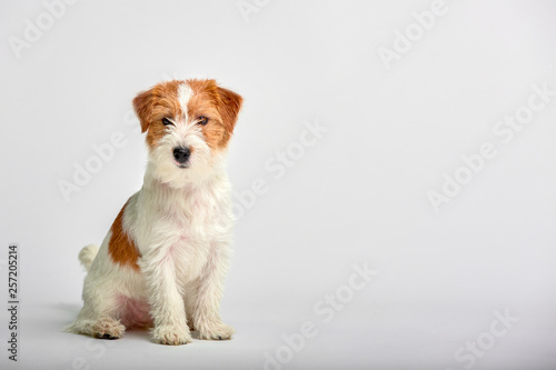 Fotografie, Obraz  Jack Russell Terrier puppy close up on white background, copy space