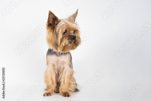 Fototapeta Dog yorkshire terrier on white background