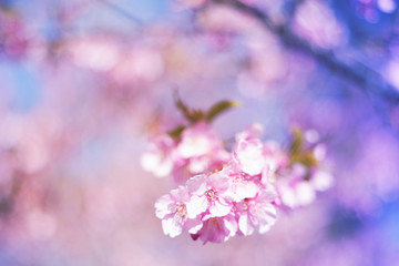 Cherry blossoms and blue sky - one day in Japan