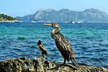 Mediterranean Shag (Phalacrocorax Aristotelis Desmarestii) In Summer