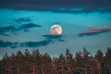 Full Moon Rising Above Pine Forest Landscape In Belarus Or European Part Of Russia During Sunset Time Of Summer Evening. Sunrise Nature At Sunny Morning