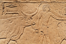 Man With Bull On Relief, Offering Scene Of Ancient Egypt, Made At 2300 BC, Saved By Carlsberg Glyptotek