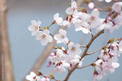 ふんわりした背景の桜 Canvas Print