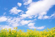 菜の花と青い空と白い雲