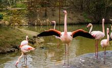 Greater Flamingo Standing In T...