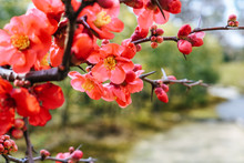Close Up Of Red Plum Blossoms Blooming In Spring In A Japanese Garden.