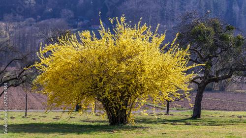 Fotografia, Obraz Leuchtend gelber Forsythienbusch im Garten