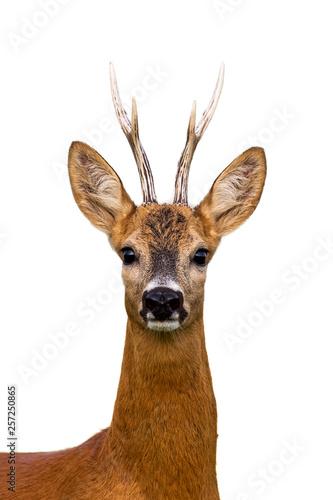 Foto op Plexiglas Ree Close-up of head of roe deer, capreolus capreolus, buck isolated on white background.