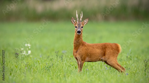 Foto op Plexiglas Ree Attentive roe deer, capreolus capreolus, buck standing on a meadow in summer with green blurred background. Wild animal in nature with space for copy.