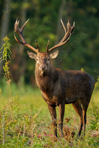Vertical close-up of red deer with big antlers, cervus elaphus, stag standing on a glade in the floodplain forest in daylight
