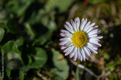 Fotografia  little daisy in meadow