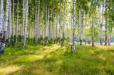 Brzozowy gaj na rzece w lecie w słoneczny dzień, na skraju lasu z trawą. - 257257464