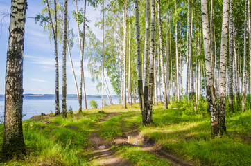 Fototapeta Do biura Birch grove on the river in the summer on a Sunny day, the edge of the forest with grass.