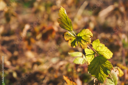 Fotografía Yellowed leaves of the plant on the background of green grass
