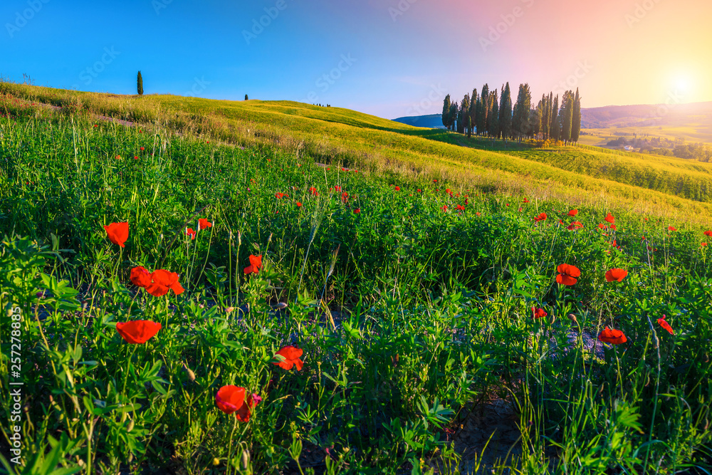 Amazing Tuscany landscape with cypress trees and blooming flowers, Italy