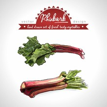 Rhubarb Collection Of Fresh Vegetables With Leaf. Vector Illustration. Isolated