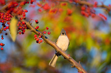 Tufted Titmouse And Berries