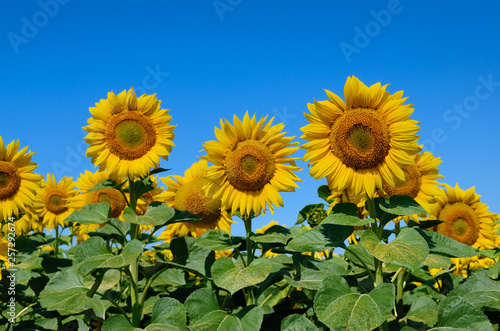 In de dag Zonnebloem Yellow sunflowers grow in the field against a blue sky. Agricultural crops.