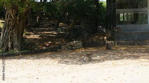 Photo  Toque Macaque monquis also called rilewa or rilawa monkey in Sri Lanka