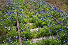 Bluebonnets On Railroad Tracks