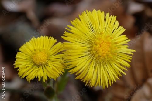 Valokuva  Wiosenne kwiaty - podbiał pospolity (Tussilago farfara)