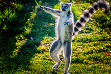 Ring-tailed Lemur Is Dancing O...