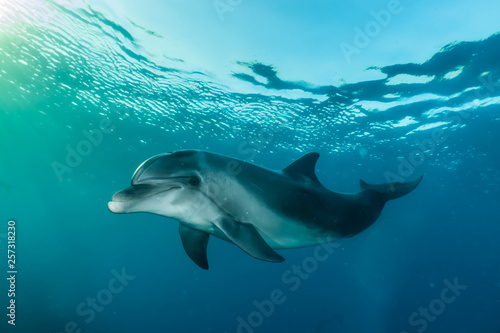 Photo sur Aluminium Dauphin Dolphin swimming with divers in the Red Sea, Eilat Israel