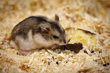 Image Of Hamster Eating Food. Pet. Animals.