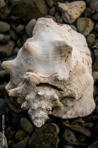 Obraz na płótnie An old weathered conch shell sits on a rocky, Caribbean beach.