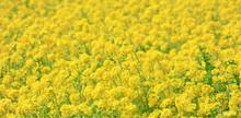 一面に咲き誇る綺麗な菜の花畑