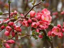 Cognassier Du Japon (Chaenomeles Japonica). Un Arbrisseau D'ornement Aux Rameaux Garnis D'une Belle Floraison Rouge Vif Au Printemps