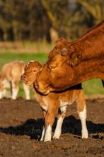 Mother Licks Newly Born Calf