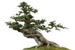 Leinwanddruck Bild - Bonsai pine tree. Isolated on white background