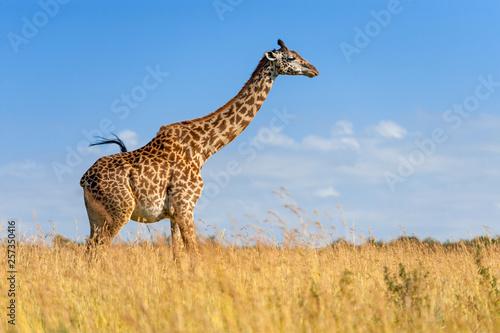 Cuadros en Lienzo Giraffe in National park of Kenya
