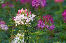 Close Up Of Cleome Spider Flower