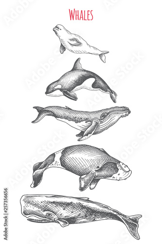 Fotografering Card with killer whale, beluga, sperm whale, humpback, bowhead whale